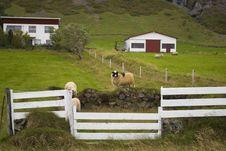 Free Sheep Farm Royalty Free Stock Photos - 16632048
