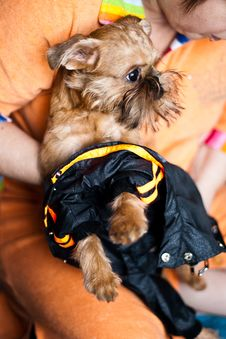 Free Griffon Bruxellois Dressed In Overalls For A Walk Royalty Free Stock Photography - 16632357