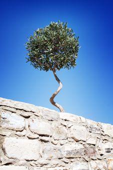 Free Olive Tree Royalty Free Stock Photos - 16632758