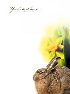 Free Easter Hare And Daffodils Stock Images - 16633574