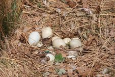 Free Goose Nest Stock Photos - 16635693