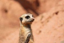 Free Suricate Mongoose Stock Images - 16636064