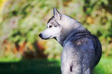 Free Husky Royalty Free Stock Image - 16636386