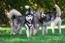 Free Husky Stock Image - 16636391