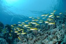 Free Small School Of Red Sea Goatfish Stock Photos - 16636713