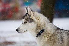 Free Husky Royalty Free Stock Photography - 16636997