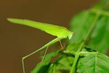 Free A Green Katydid/bush Cricket Stock Photography - 16637732