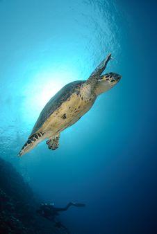 Free Hawksbill Sea Turtle Royalty Free Stock Image - 16638006