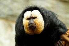 Free Pithecia Pithecia, Golden-face Saki Monkey Royalty Free Stock Images - 16638169