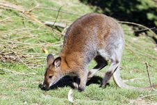 Free Wallaby Stock Photography - 16639252