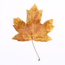 Free Autumn Maple Leaf Royalty Free Stock Images - 16639539