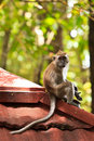 Free Macaque Monkey Sitting On A Roof Stock Images - 16644234