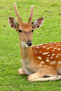 Free Young Deer Royalty Free Stock Image - 16644336