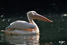 Free Great White Pelicans Stock Images - 16640804