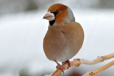 Free Hawfinch Bird In Wintertime Stock Images - 16640954