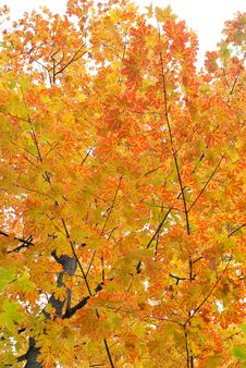 Free Autumn Maple Royalty Free Stock Photography - 16641017