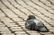 Free Single Pigeon Sitting Calmly On Cobble Stone Walk Royalty Free Stock Photo - 16641055
