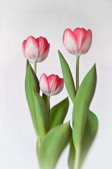Free Three Red Tulips Stock Photography - 16641242