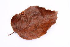 Free Autumn Beech Leaf Stock Photos - 16641323