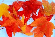 Free Maple Red Leaves Frozen Into The Ice Cold Concept Royalty Free Stock Photos - 16641768
