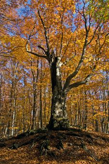 Free Beech In Autumn Royalty Free Stock Images - 16641809
