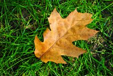 Free Brown Leaf On Green Grass Royalty Free Stock Image - 16642596