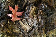Free Autumn Leaves Oak Royalty Free Stock Image - 16643136