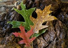 Free Autumn Leaves Royalty Free Stock Photography - 16643147