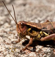 Free Young Locust Royalty Free Stock Photography - 16643857