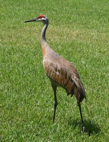 Free Sandhill Crane 1 Stock Photos - 16644043