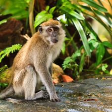 Free Macaque Monkey Sitting On The Ground Royalty Free Stock Images - 16644269