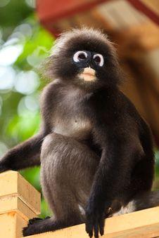Dusky Leaf Monkey Sitting On A Fence Royalty Free Stock Photo