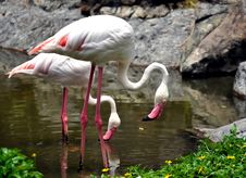 Free Flamingos Royalty Free Stock Photography - 16644377