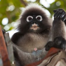 Free Dusky Leaf Monkey Sitting In A Roof Gutter Royalty Free Stock Photography - 16644477
