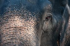 Asia Elephant. Royalty Free Stock Image