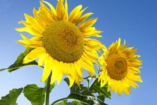 Large Sunflowers Royalty Free Stock Photo