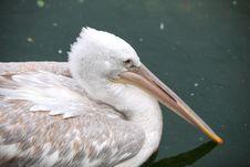 Free Pelican Stock Photos - 16646103