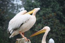 Free Pelican Royalty Free Stock Image - 16646126