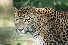 Free Leopard Royalty Free Stock Photo - 16648345