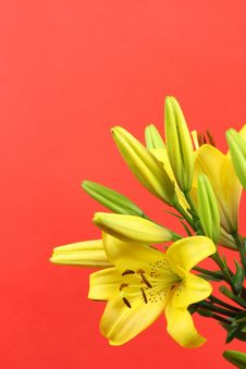 Free Yellow Lilies Royalty Free Stock Image - 16648396