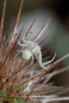 Free White Spider Stock Images - 16648544
