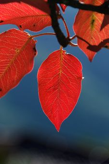 Free Red Leaf Royalty Free Stock Images - 16648769