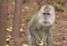 Monkey With Apple Royalty Free Stock Image