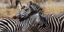 Free Zebra Royalty Free Stock Photos - 16649488