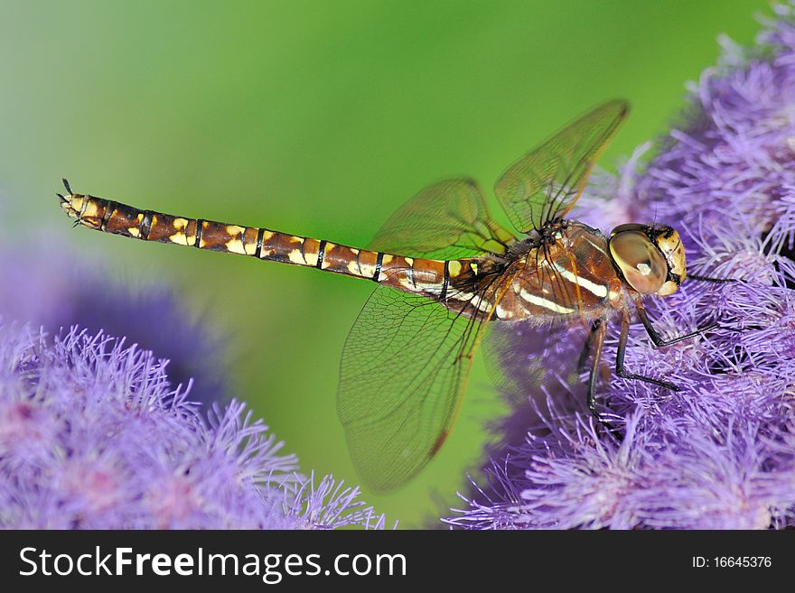 Dragonfly on a purple flower