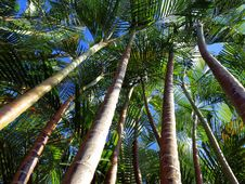 Free Palm Trees And Blue Sky Royalty Free Stock Photography - 16650937