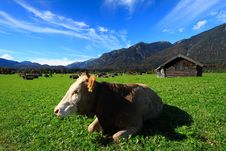 Free Cow At Village Stock Photo - 16650980