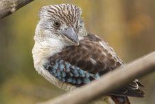 Free Blue-winged Kookaburra Royalty Free Stock Photography - 16651437