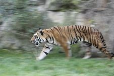 Free Tiger In Movement Stock Image - 16651831