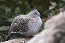 Free Crested Pigeon Stock Image - 16651881